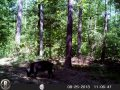 2013 August Trail Cam Three Way Boar